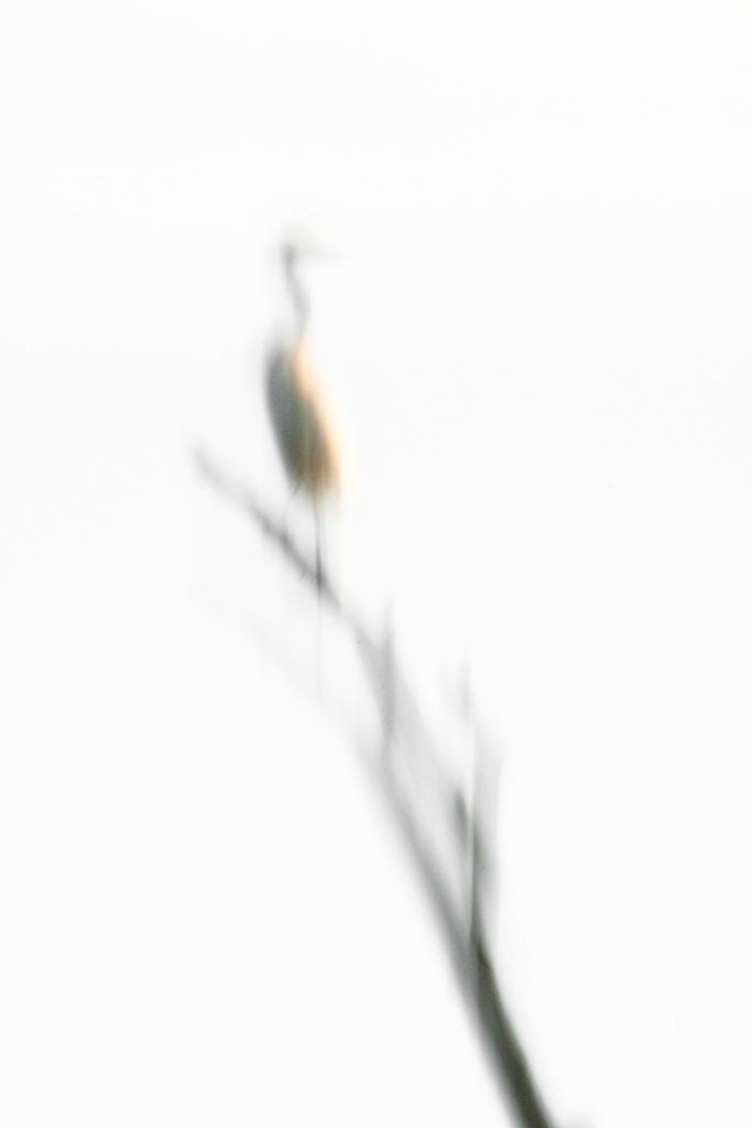 "Reflection of Great Egret in tree , ""Secret Bird Pond"", Trinity River Audubon Center, Dallas, Texas, USA."