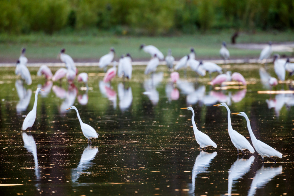 Great egrets, wood storks, and roseate spoonbills on pond in Great Trinity Forest, Dallas, Texas, USA