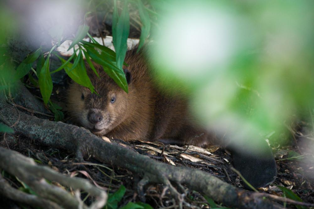 "Beaver on banks of pond, ""Secret Bird Pond"", Trinity River Audubon Center, Dallas, Texas, USA."