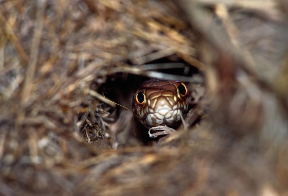 Western Coachwhip Snake in Den