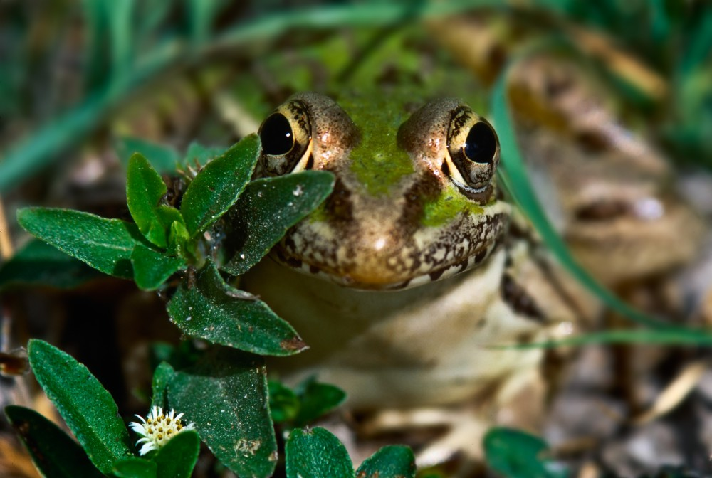 Rio Grande Leopard Frogs