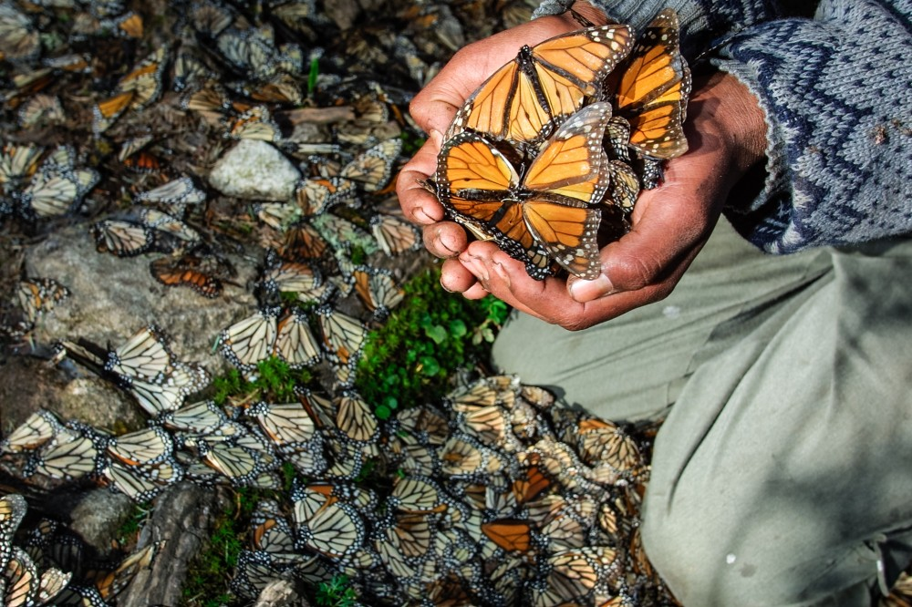 Guide holding dead Monarch Butterflies