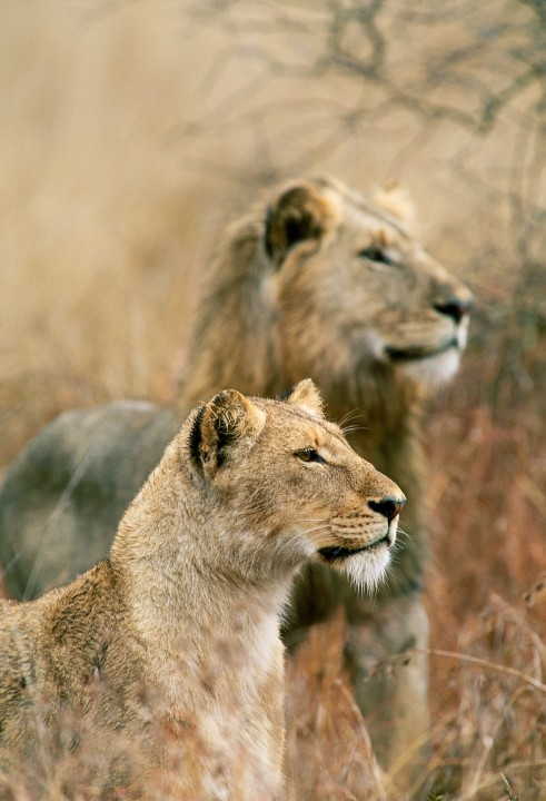 Young Male and Female Lions in Profile