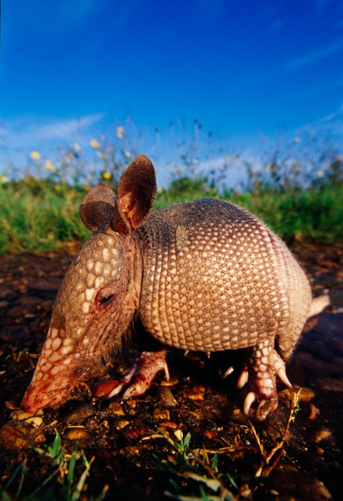 Wide-angle armadillo portrait