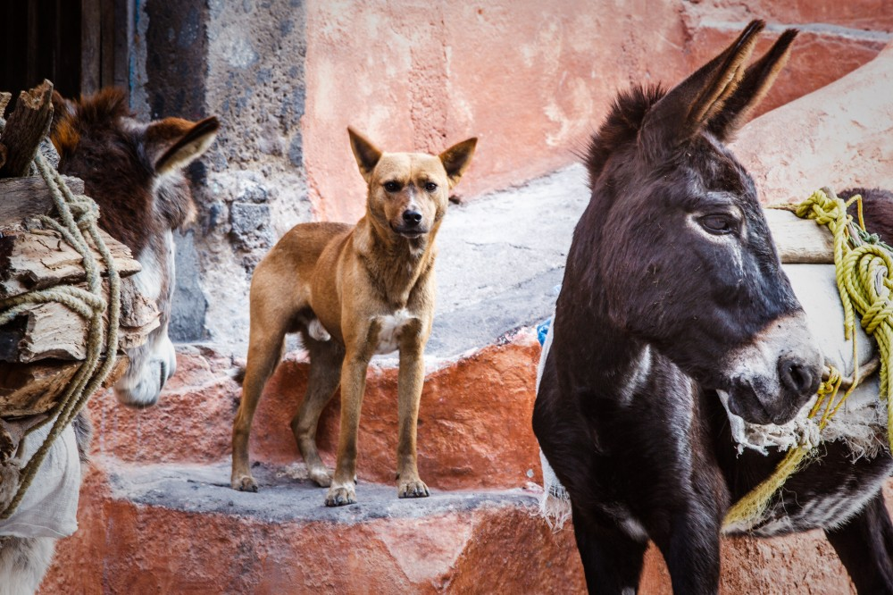 Burros and Dog