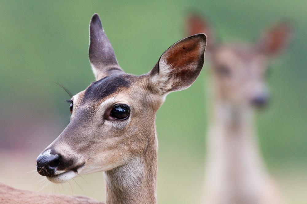 White-Tailed Deer Pair