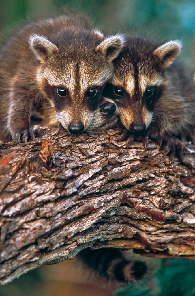 Three young raccoons in tree, Yzaguirre Ranch, in South Texas, north of McAllen and the Rio Grande River, USA.