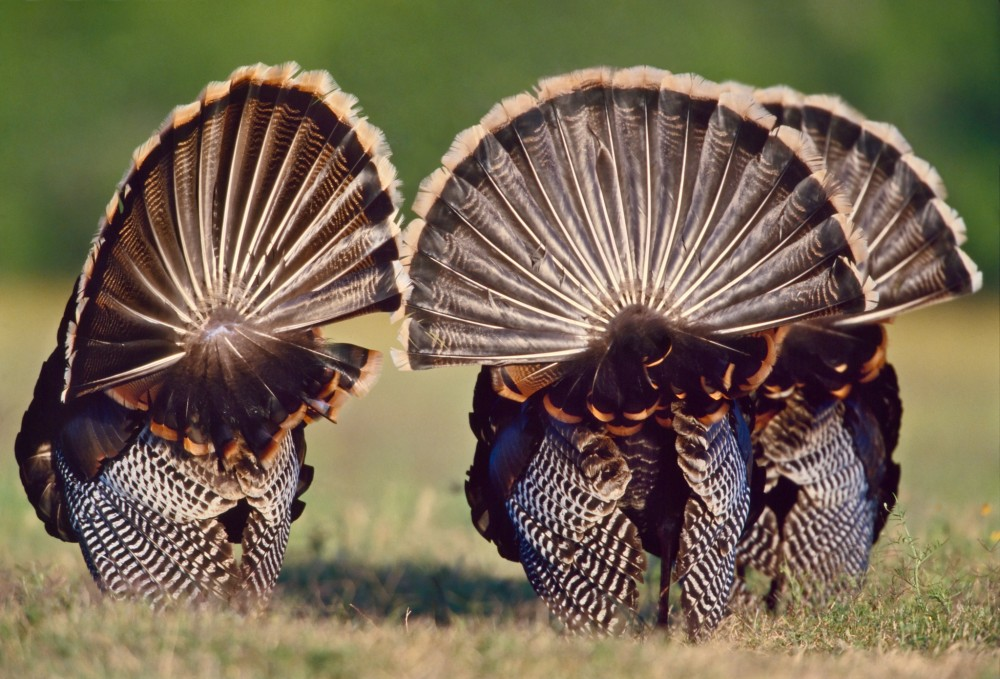 Strutting Turkey Tailfeathers