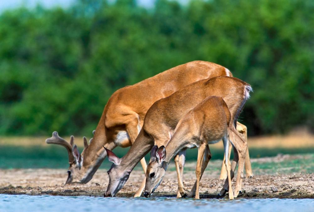 White-tail Deer Drinking