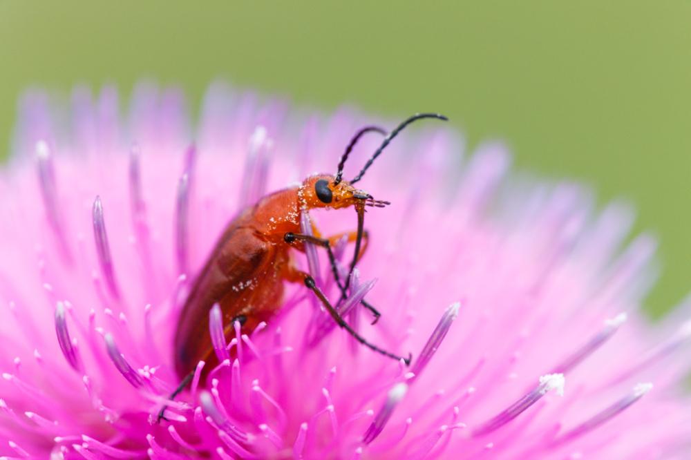 Blister Beetle on Texas Thistle