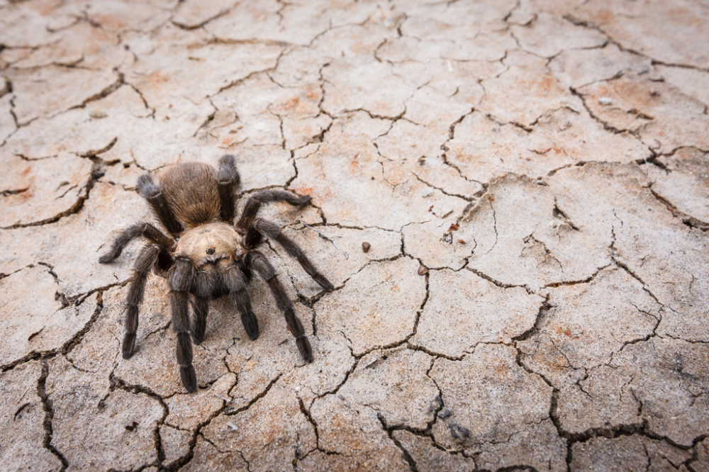 Tarantula on Cracked Mud