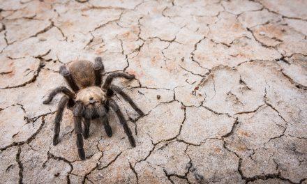 Texas Tarantula