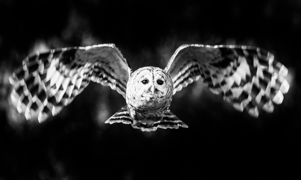 Barred Owls in Flight