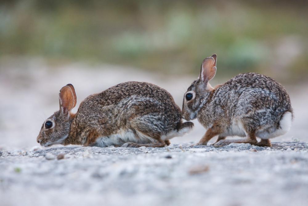 Eastern Cottontail Rabbit Courtship