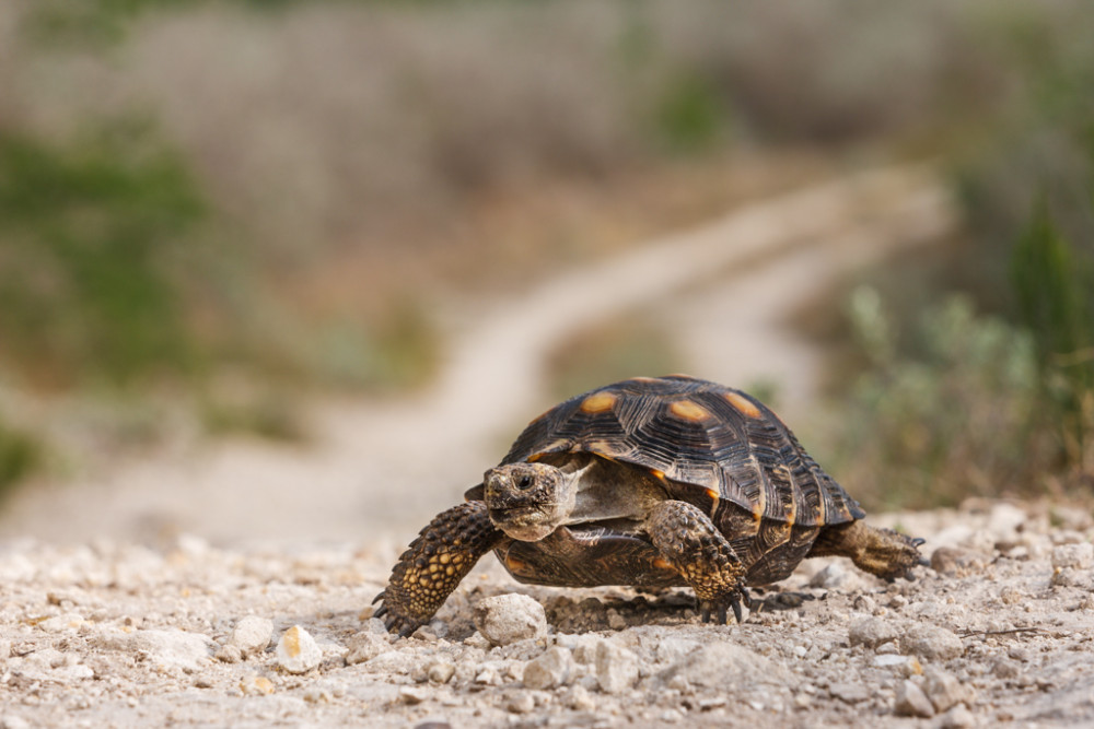 Texas Tortoise on Move