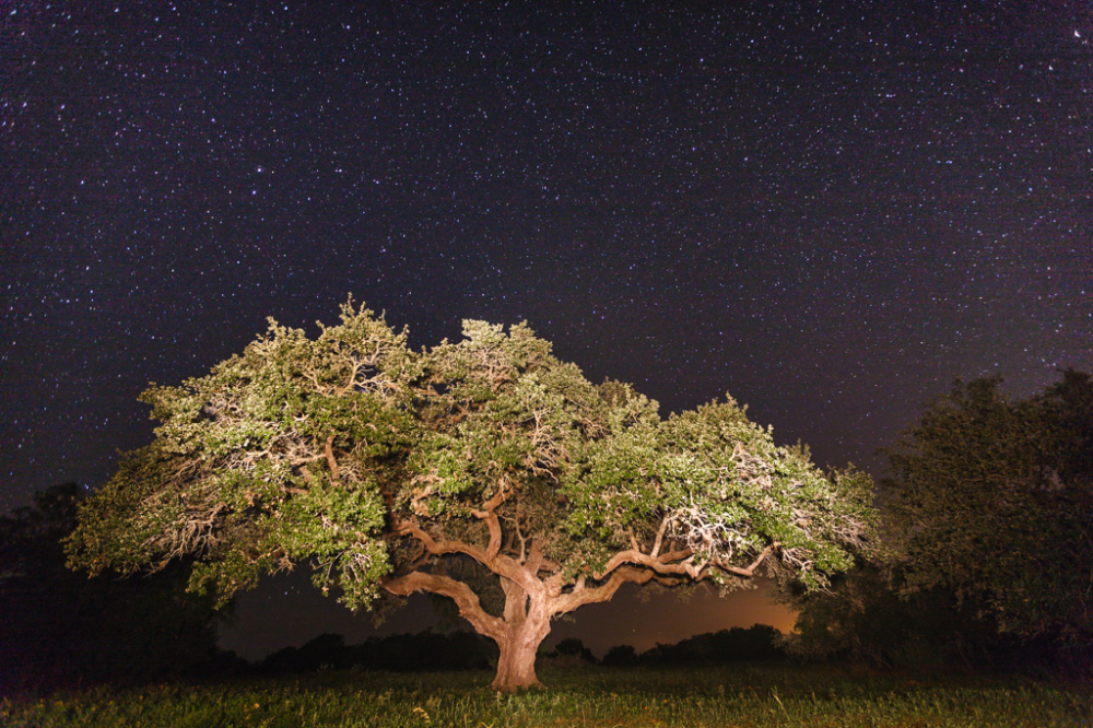 Texas Live Oak at Night