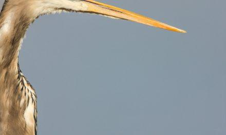 Heron with Attitude