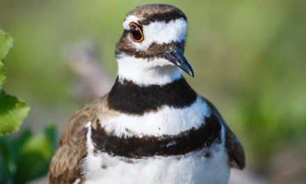 Killdeer on Nest
