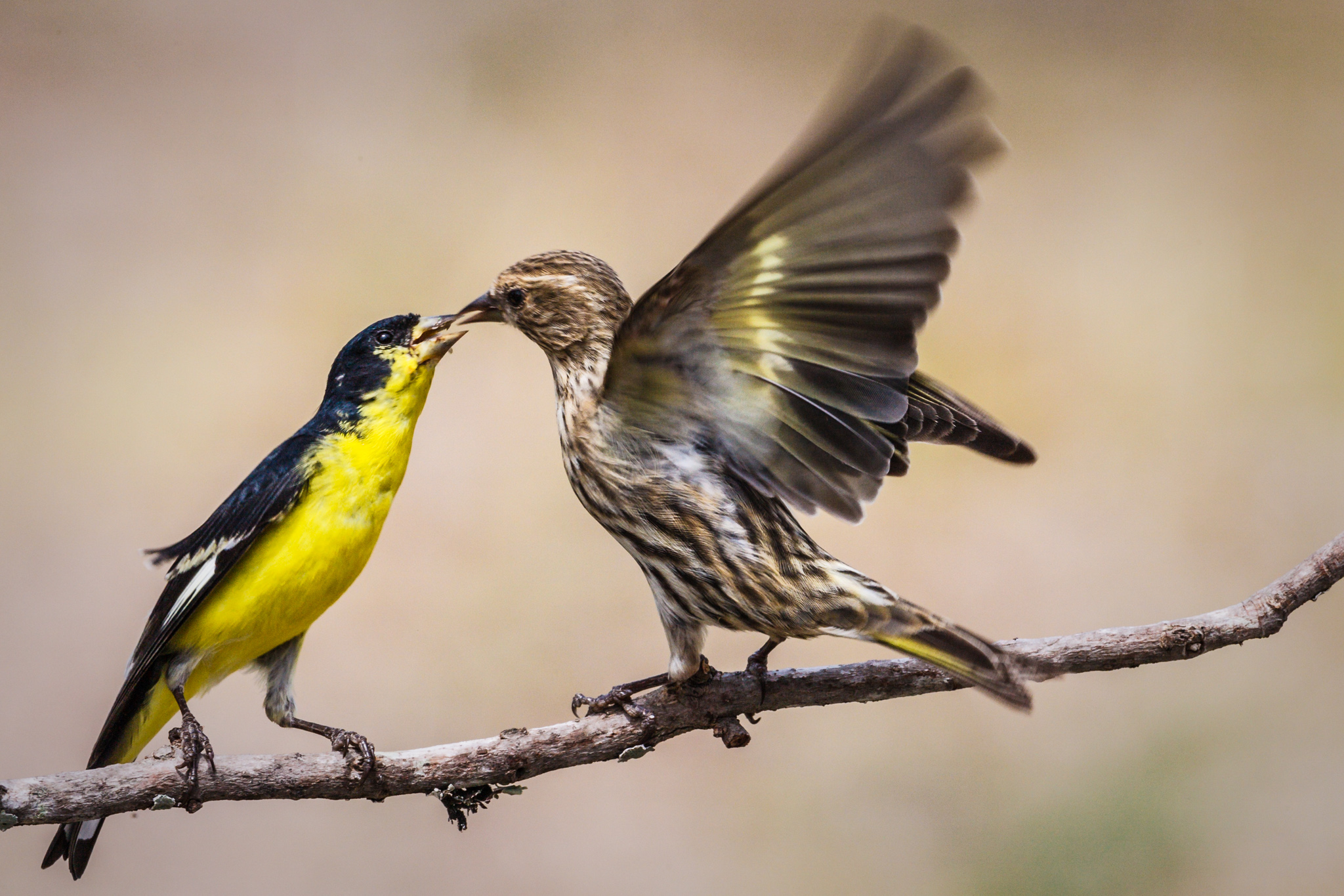 Fighting goldfinches
