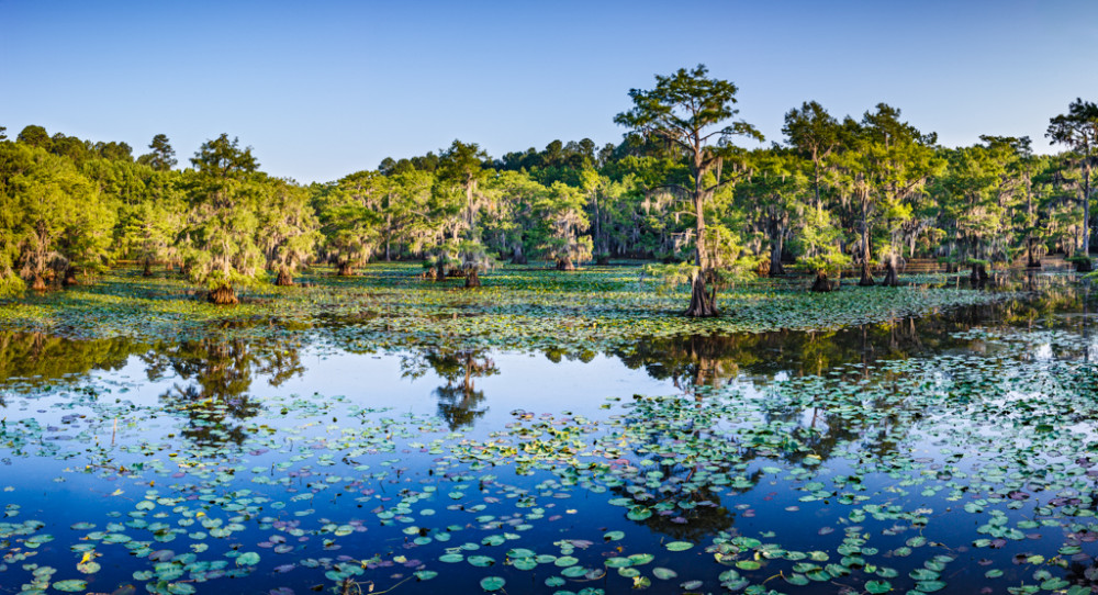 Water lilies and bald cypress trees on Caddo Lake, Texas, USA.