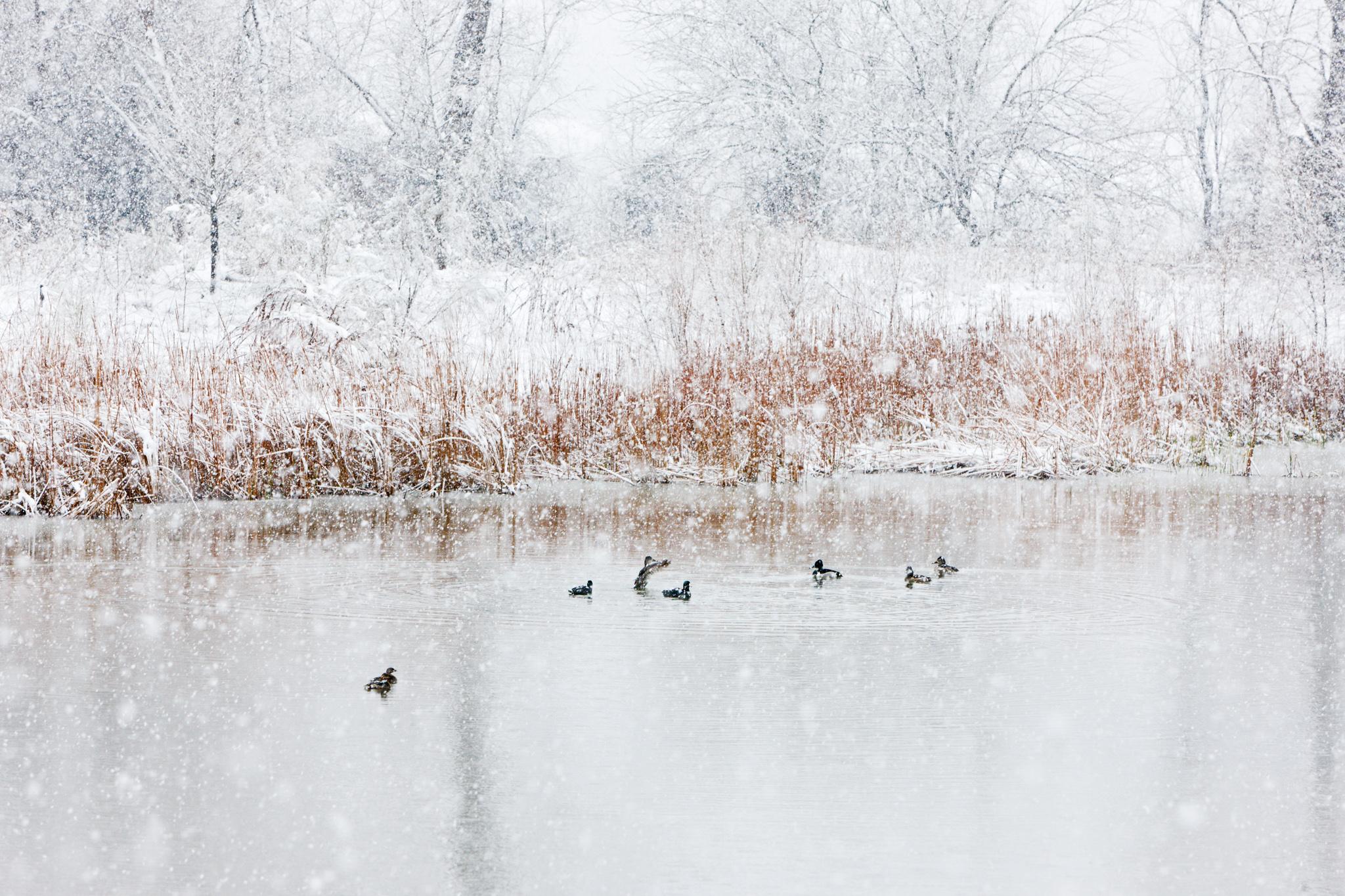Ducks in Snow