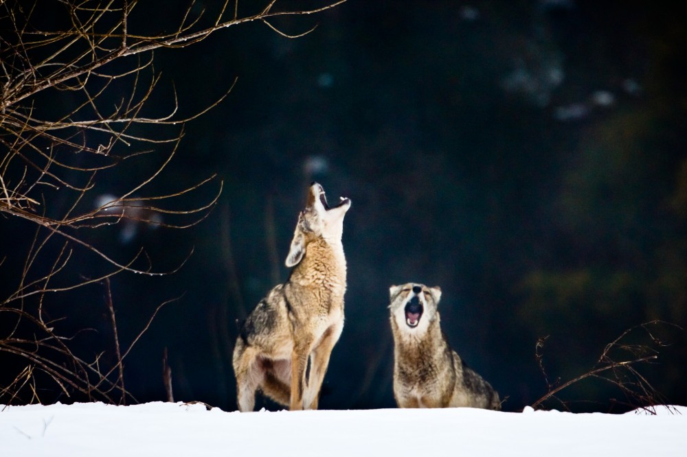 Coyotes in snow and fog