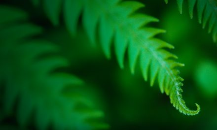Devils River Fern