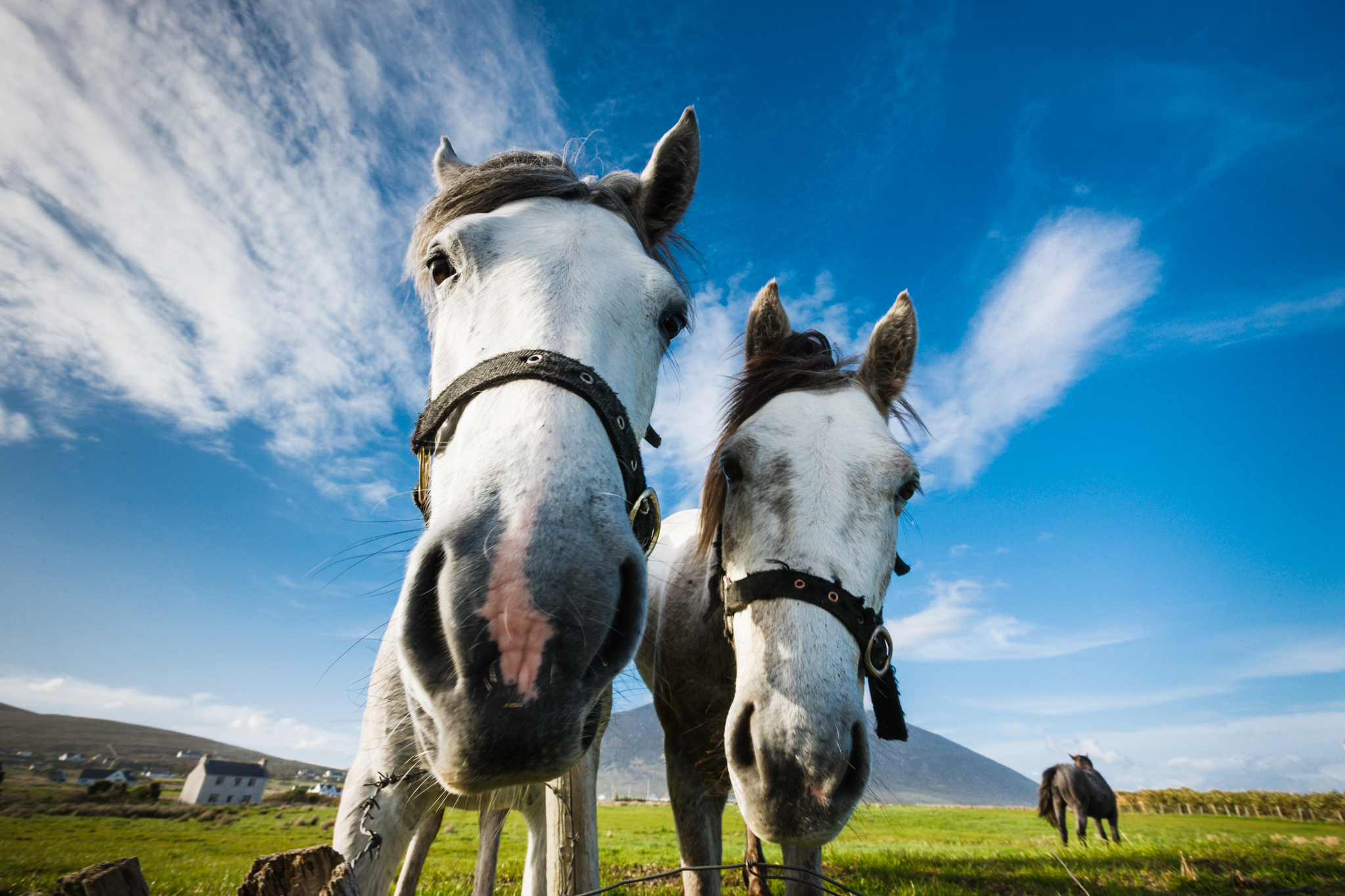 Irish Ponies