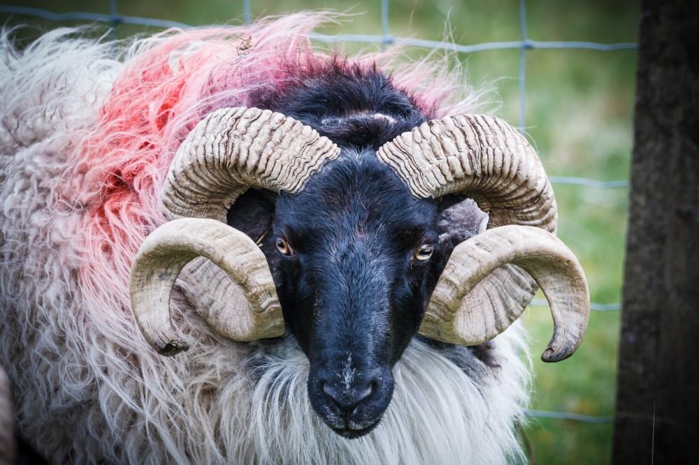 Blackface Sheep Ram