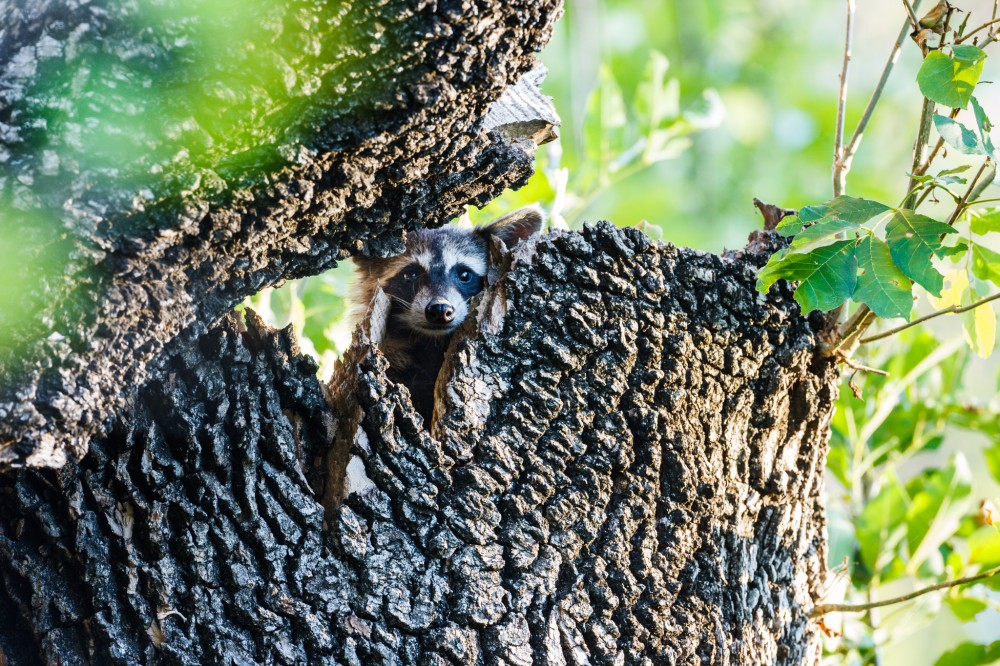 Raccon in Tree