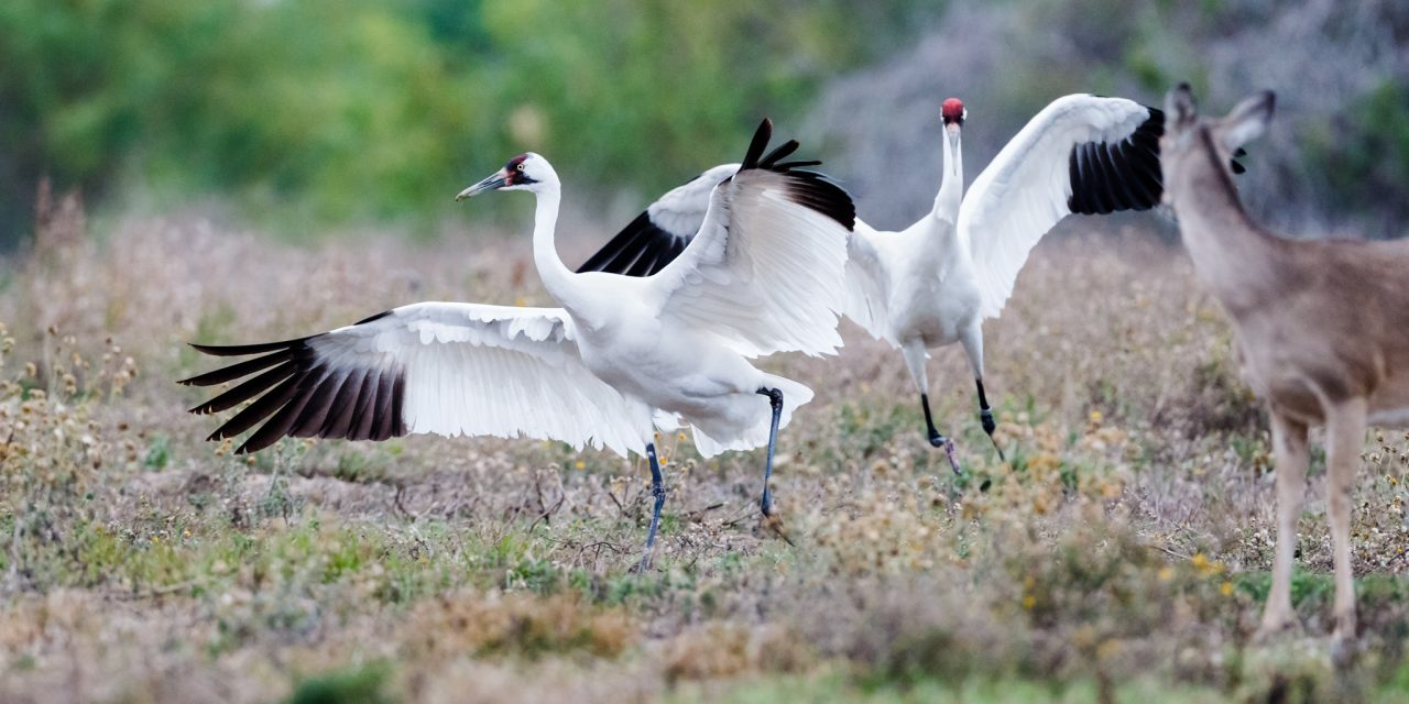 Whooping Crane Chase