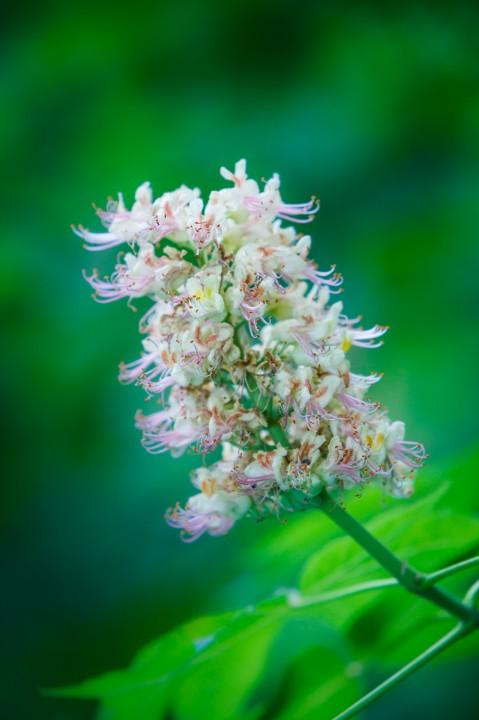 Texas Buckeye Tree in Flower