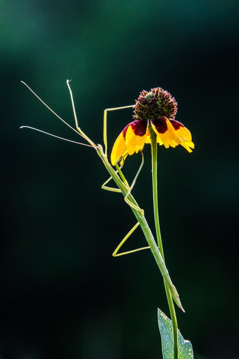 Walking Stick on Brown-eyed Susan