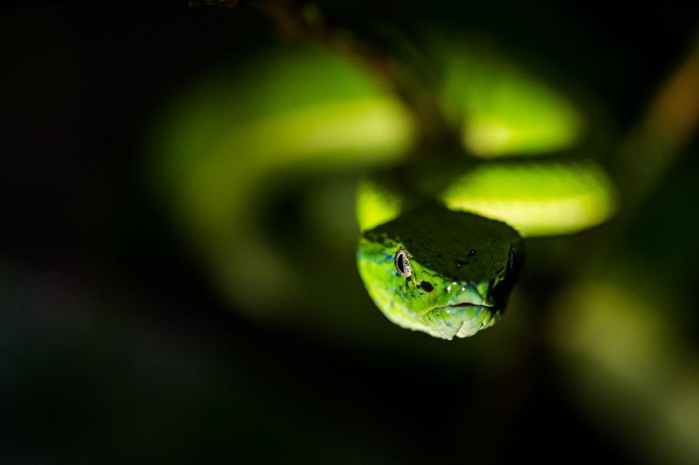 Palm Pit Viper