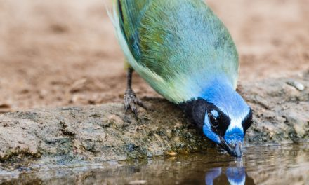 Green Jay Drinking
