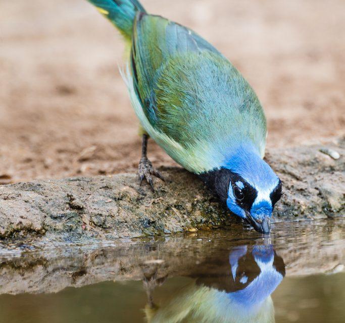 Green Jay Drinking