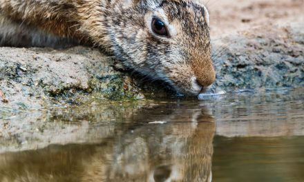 Thirsty Cottontail