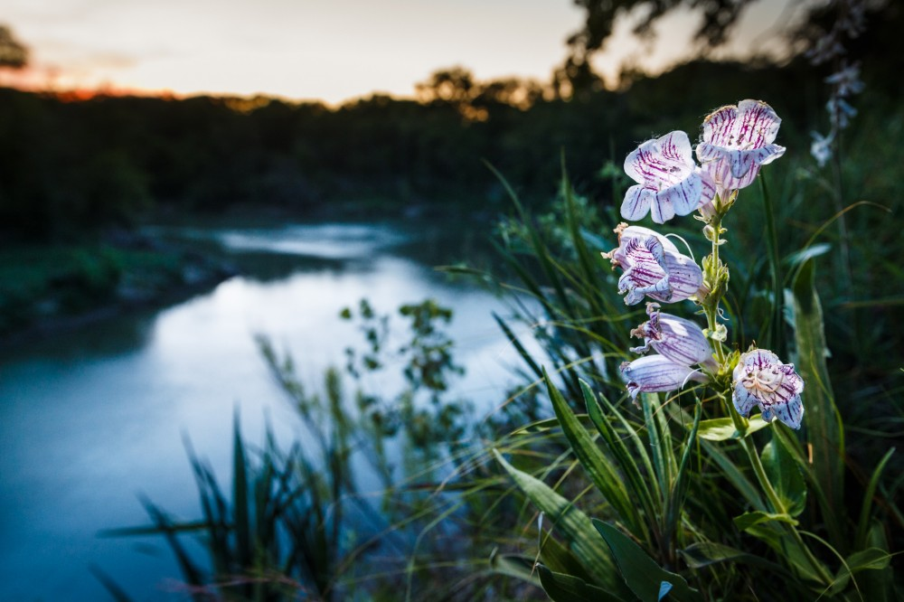 Penstemon Wildflowers Above Trinity River
