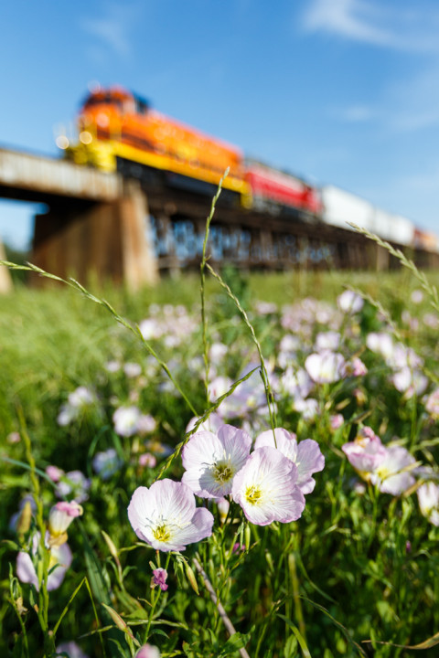 Pink Evening Primrose and Railroad