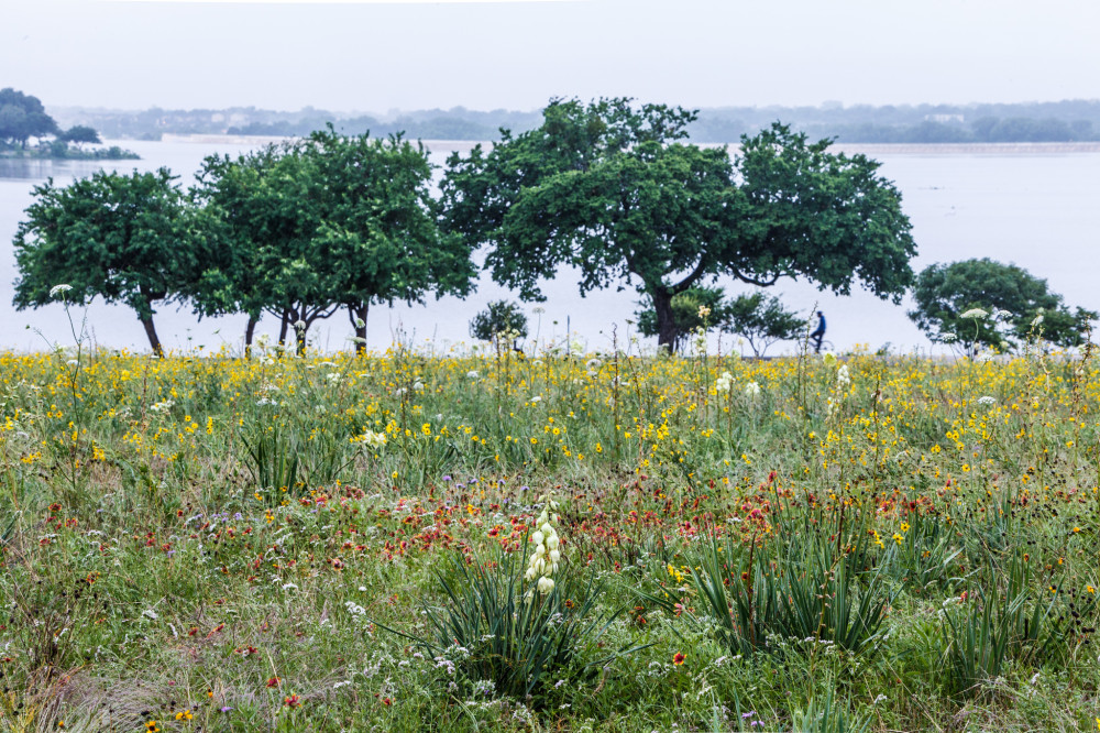 Wildflowers at White Rock Lake