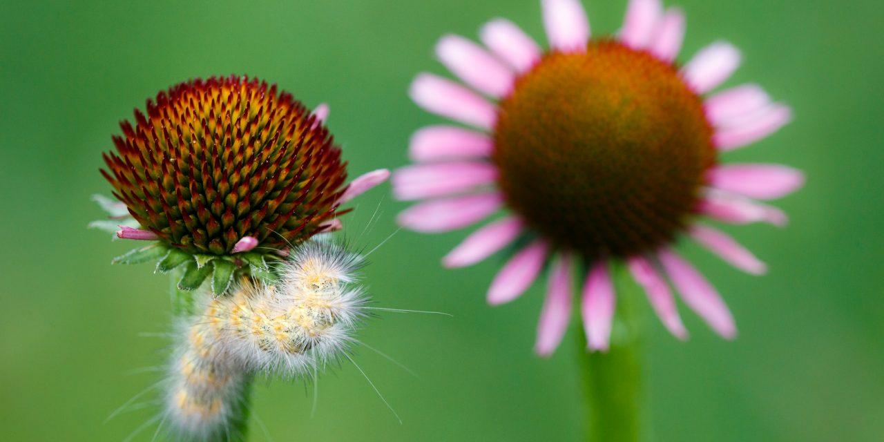 Caterpillar and Coneflower