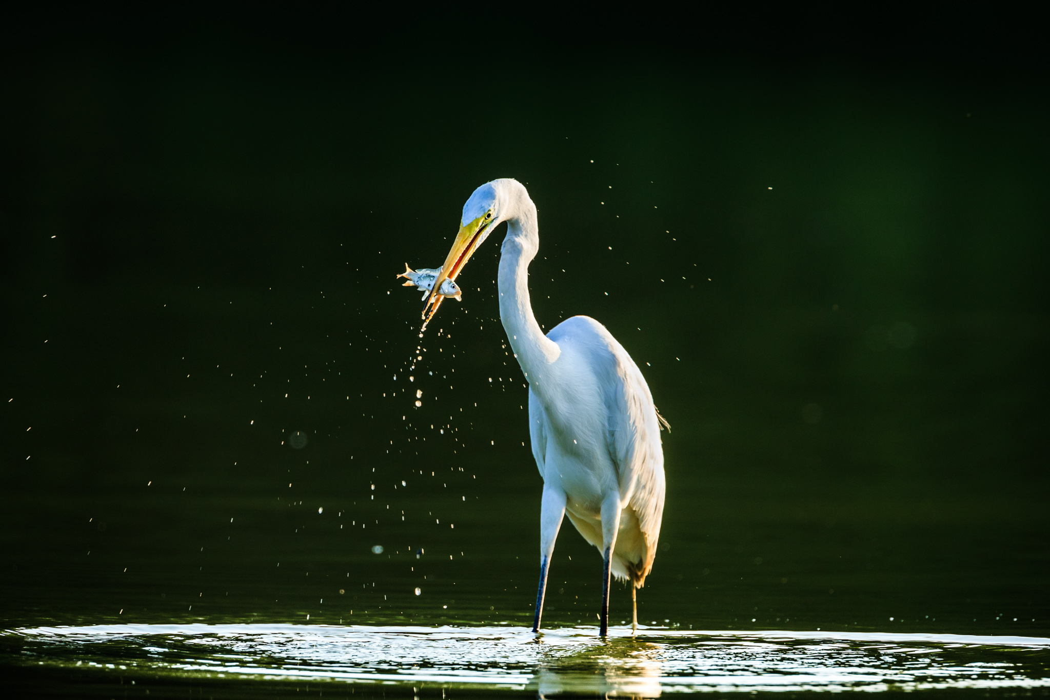 Photo of the Day – Great Egret in Trinity River