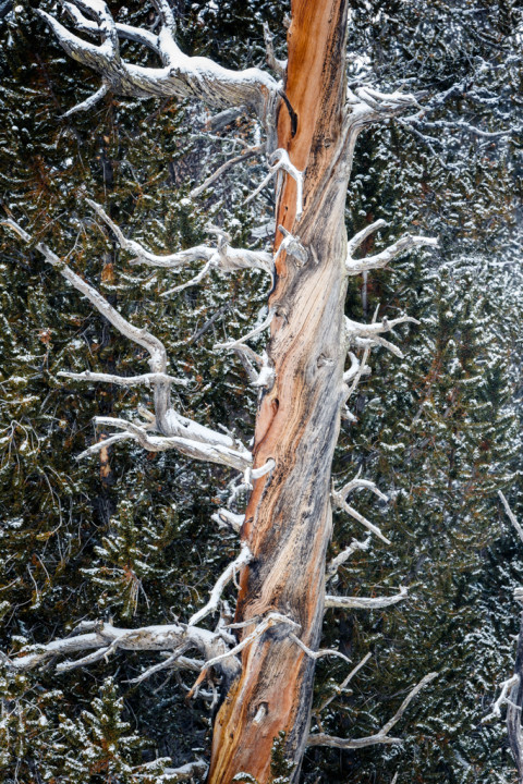 Bristlecone Pine in Snow
