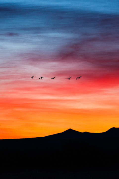 Snow Geese in Flight at Sunrise