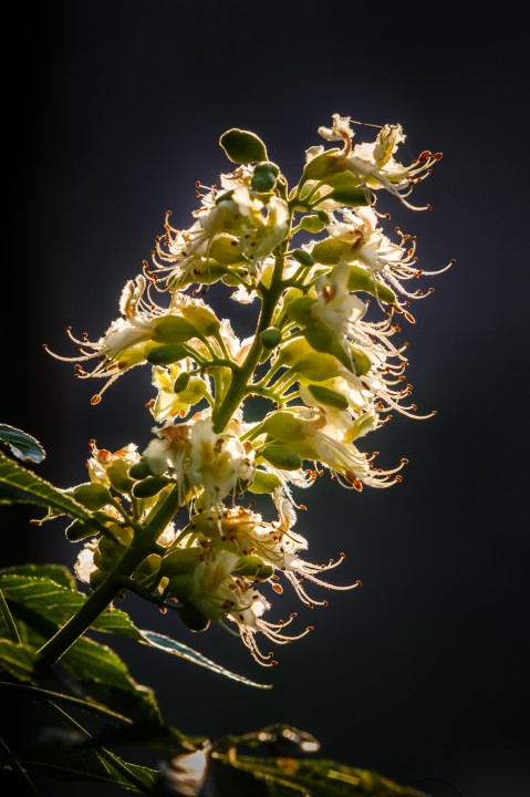 Backlit Texas Buckeye Tree in Flower