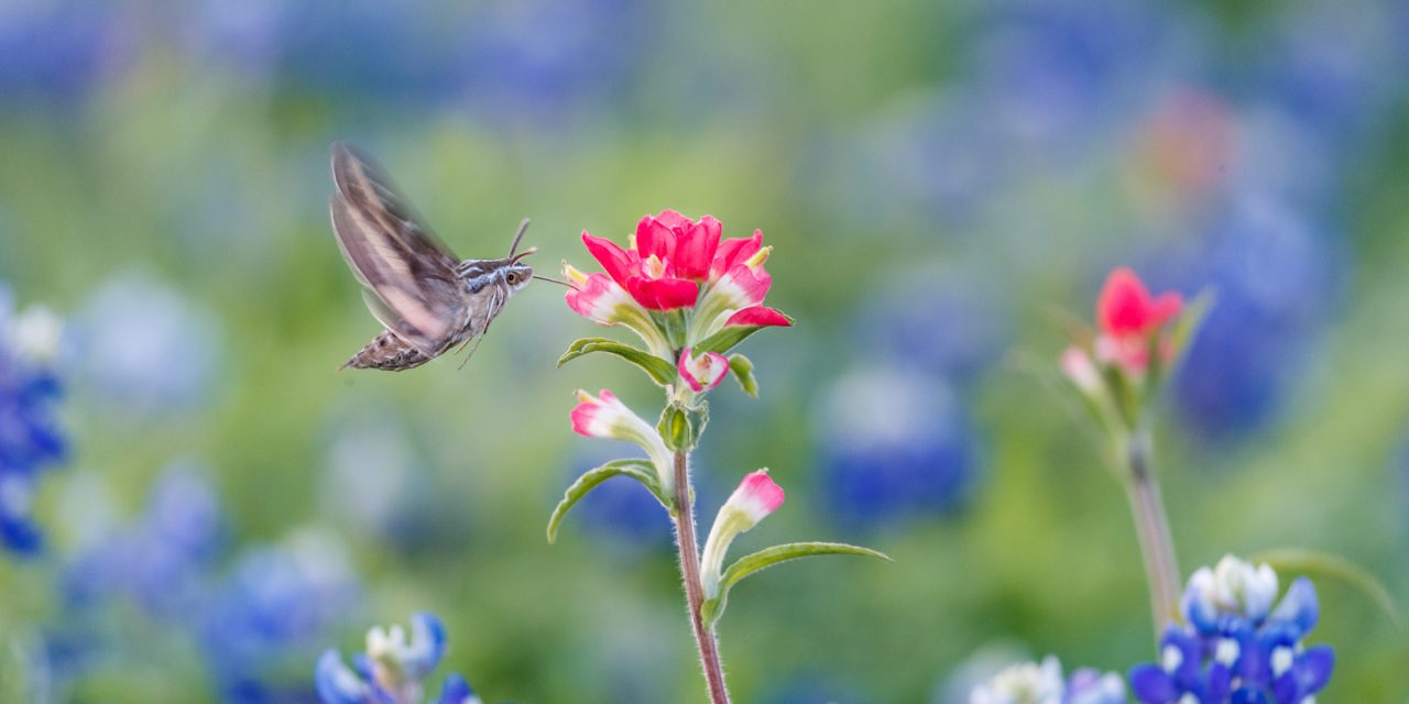 Hummingbird Moth in Bluebonnets