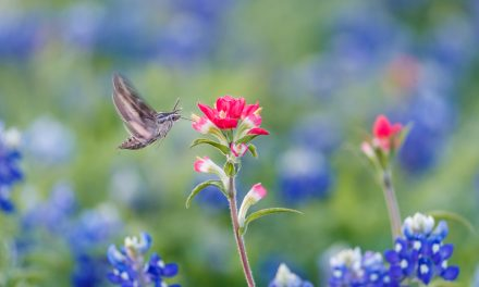 Hummingbird Moth in Bluebonnets