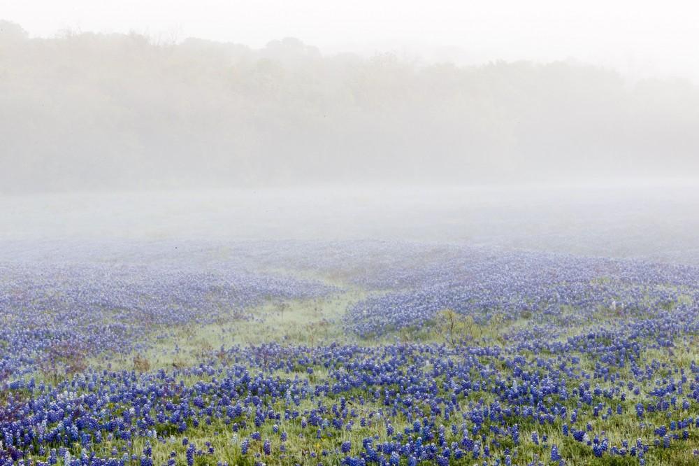 Bluebonnets in Fog