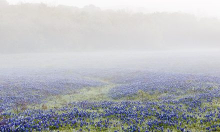 Bluebonnets in Fog