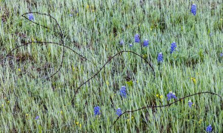 Barbed Wire and Bluebonnets